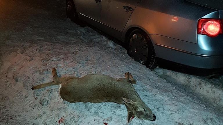 Ett rådjur som blivit påkört av en bil.