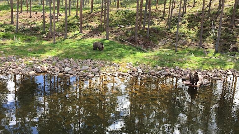 Två björnar i Orsa rovdjurspark.