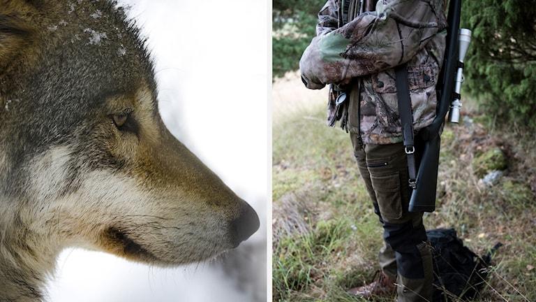 En varg och en jägare