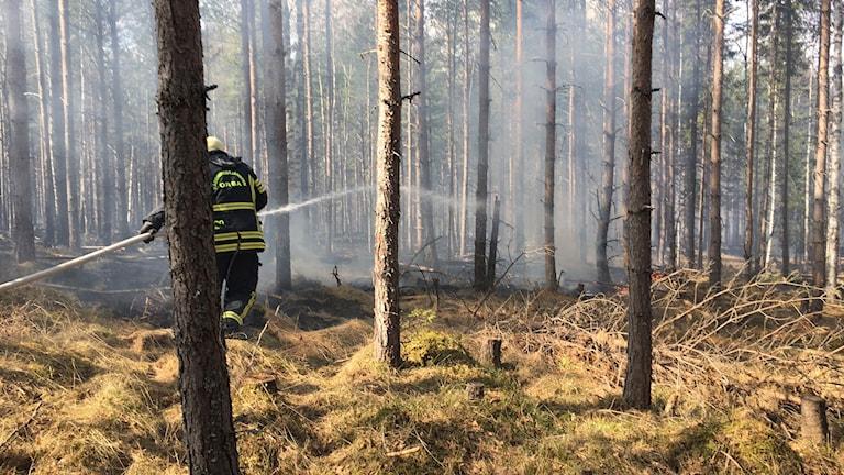 Det brinner i en skog i Orsa. En brandman försöker släcka elden.