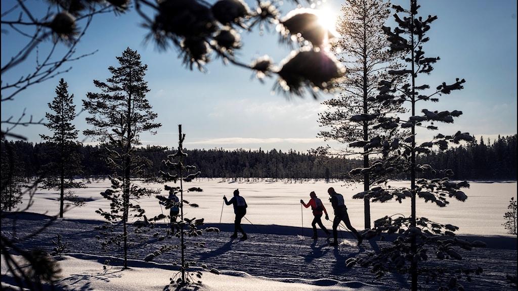Tre skidåkare åker i solen längs med Vasaloppsspåret.