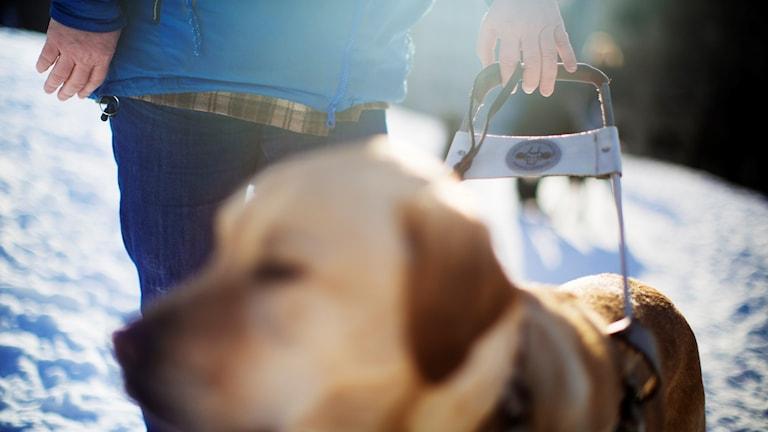 En ledarhund i förgrunden med en hundförare bakom