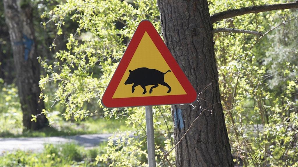 Ett vägmärke varnar för vildsvin.