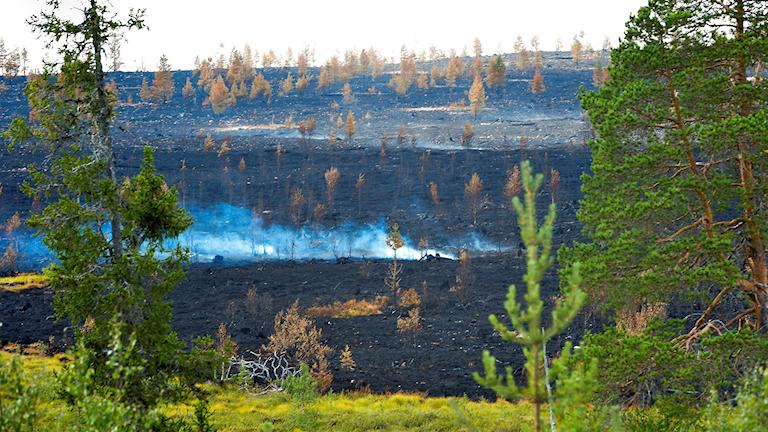 Bränd skogsmark efter skogsbranden i Trängslet norr om Älvdalen sommaren 2018.