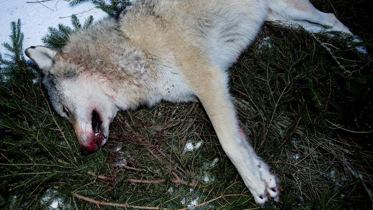 En varg ligger skjuten på en granrisbädd.