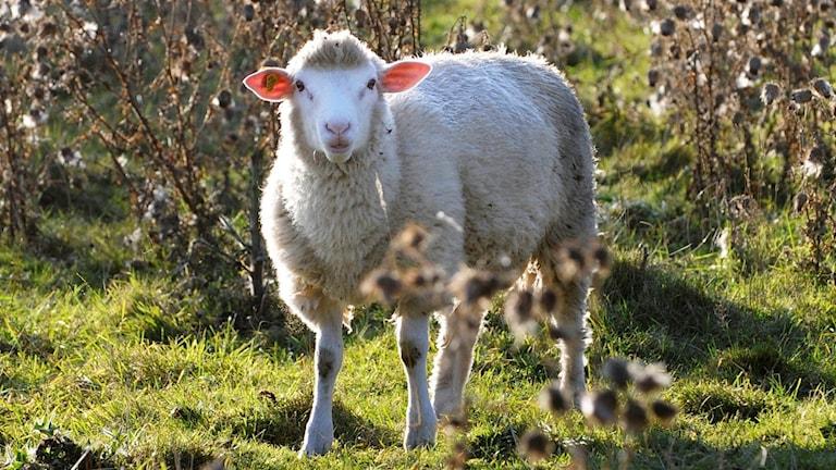 ett får i hagen