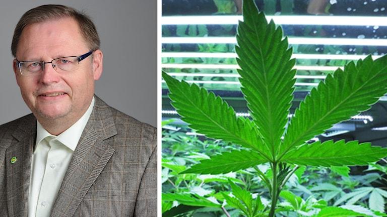 Jan Lindholm och en bild på cannabis-växt