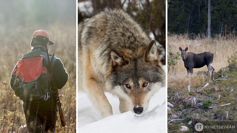 Bilder på jägare, varg respektive älg.