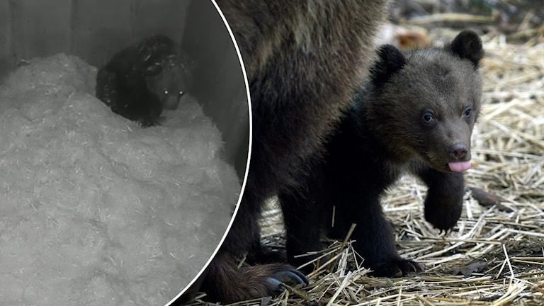 En björnhona i idet i Orsa rovdjurspark och en björnunge.