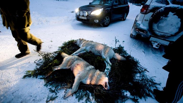 Två dödade vargar ligger på granris i snön.