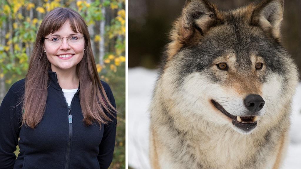 Sabrina Dressel till vänster och till höger närbild på en varg.