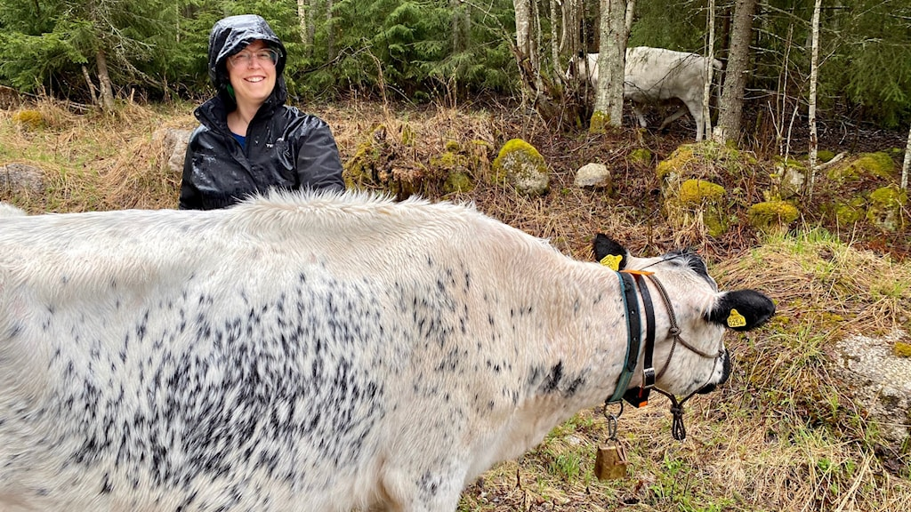 En glad kvinna i blöt regnjacka står bakom en ko i skogen.