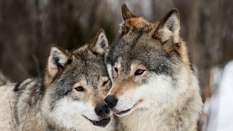 På fotot syns två vuxna vargar med nos mot nos