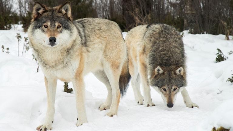 två vargar i snön