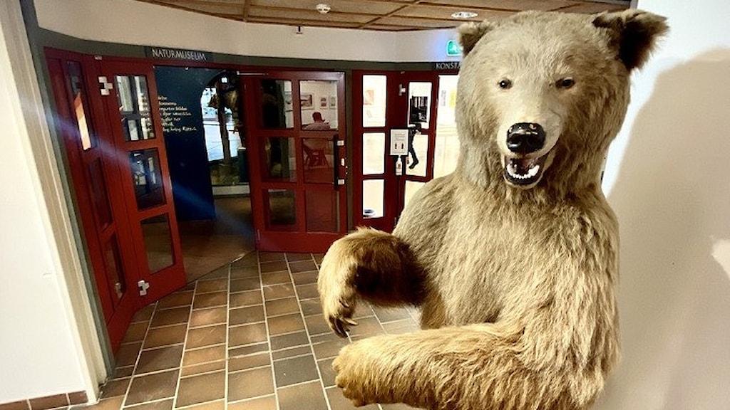 Uppstoppad björn i Rättviks kulturhus.