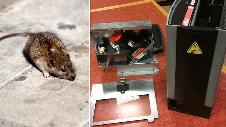Råtta och mekanisk fälla