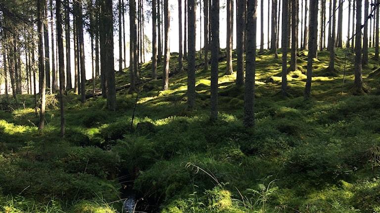 Nyckelbiotop utanför Vansbro som lämnats kvar, bakom träden skymtar kalhygget runt den bevarade skogen.