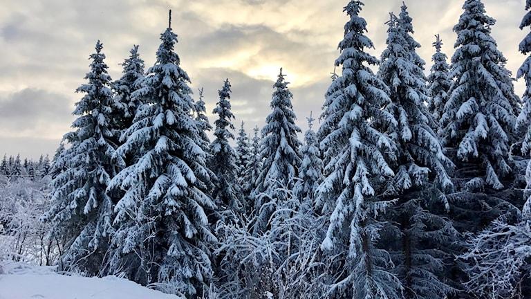 En skog vintertid