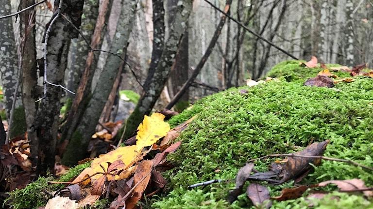 Skog i Gagnef