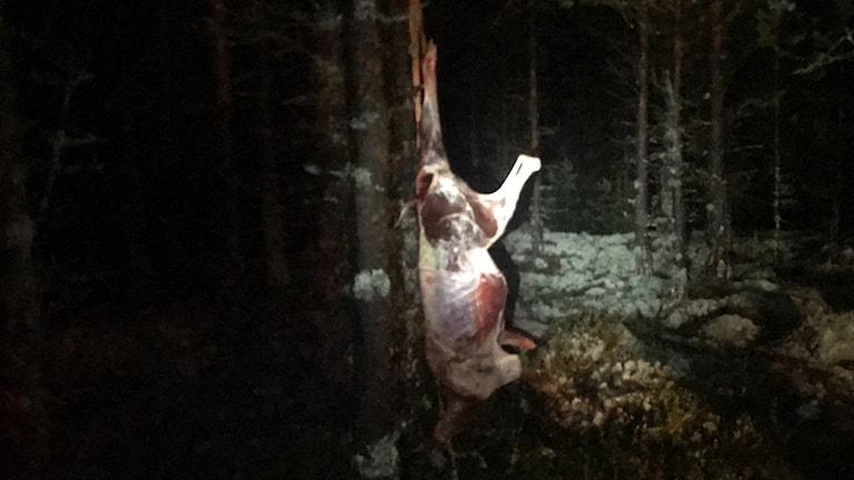 En av renarna som hittades var redan flådd när medlemmar från Idre Sameby kom till platsen.