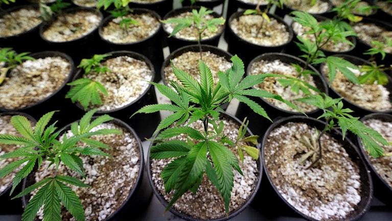 Flera krukor med små gröna plantor av Marijuana.