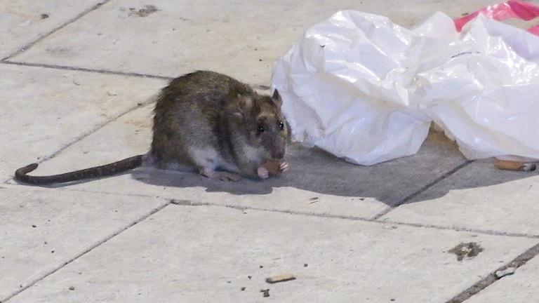 En råtta