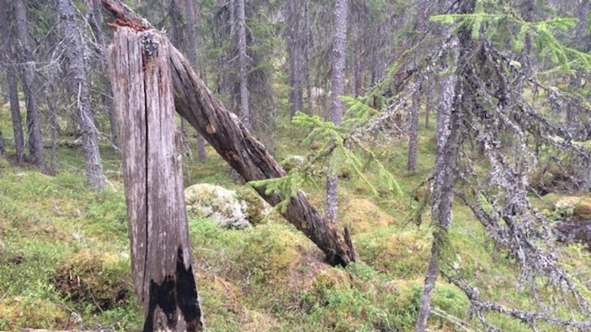 Nyckelbiotop vid Stora Almsjön i Malung-Sälens kommun som Länsstyrelsen avverkningsanmält.