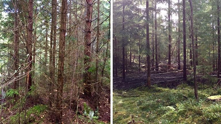Ogallrade respektive gallrad skog bredvid varandra.