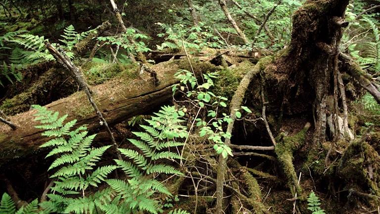 Växter och träd i skogen.