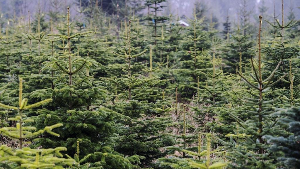 Att stjäla en julgran på någon annans mark är ett brott som kan ge böter eller fängelse.