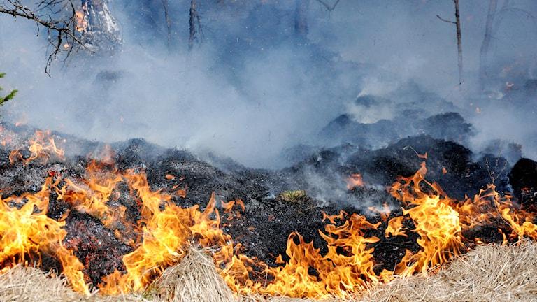 Det brinner med öppna lågor i torrt gräs i marken.