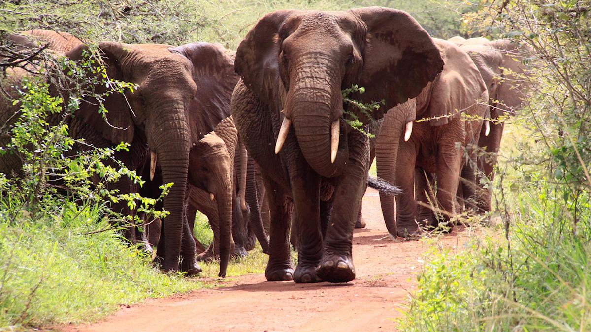 Åter jakt på elefanter i Botswana