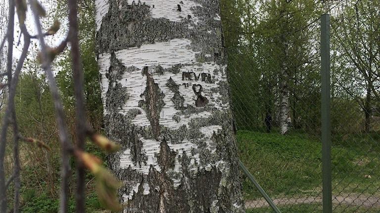Björkstam med namnet kevin inristat i barken