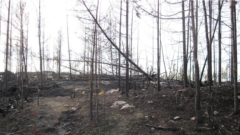 Död skog.
