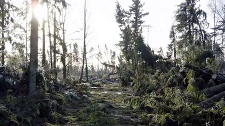 skog efter stormen Gudrun