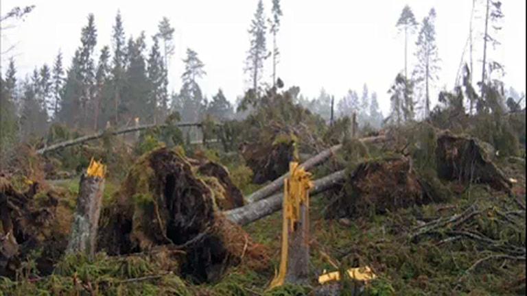 Stormen Gudrun träd