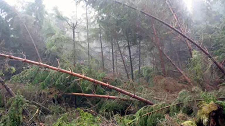 Devastation after the storm. Photo: Ola Hemström/Sveriges Radio