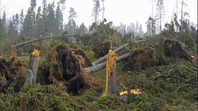 Lika mycket skog som avverkas under ett helt år i Sverige föll under några timmar där Gudrun drog fram.  Foto: Ola Hemström/Sveriges Radio