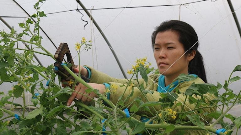 Li Mingzhu arbetade som grafisk designer men är en av de unga taiwaneser som flyttat hem till landet och startat jordbruksföretag. Foto: Hanna Sahlberg/Sveriges Radio.