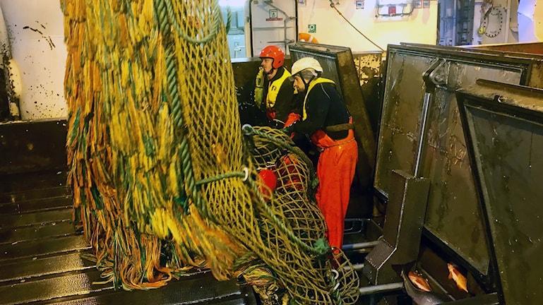 Fisken töms ur trålen och förs genom luckor direkt ner till fiskfabriken under däck.