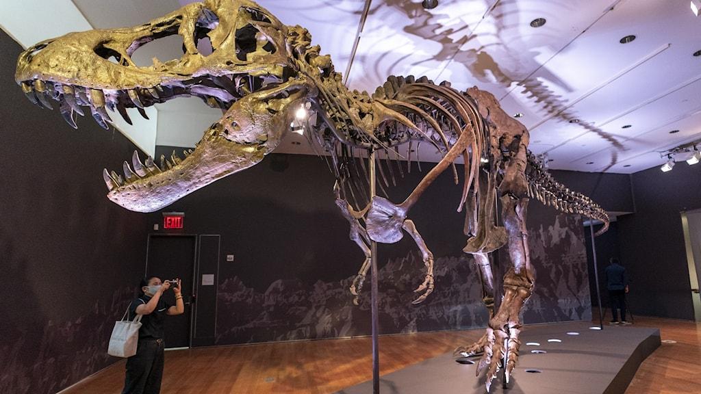 Skelett av en Tyrannosaurus rex som ikväll går under klubban på Christie´s i New York.