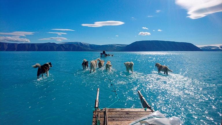 Slädhundar på Grönland. Global uppvärmning.