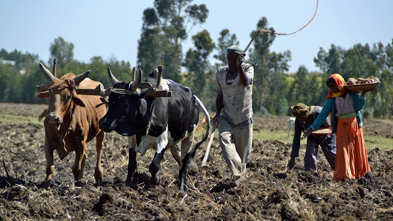 Jordbrukare sätter potatis i regionen Arsi på Etiopiens högland.