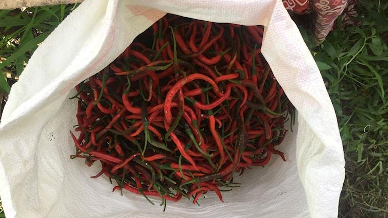 Chiliodlingen ger mer än oljepalmen för lokal bönder.