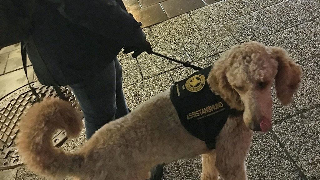 Hunden Sune assisterar.