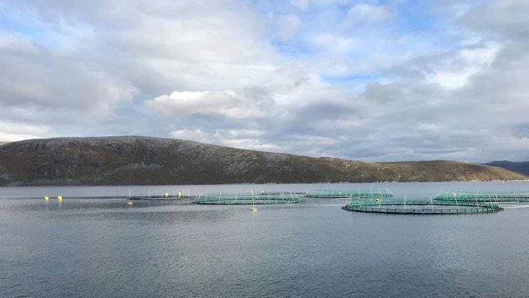 Var och en av dessa nätkassar innehåller runt 150 000 laxar. Bild från Cermaqs anläggning i Bekkarfjorden i Nordnorge.