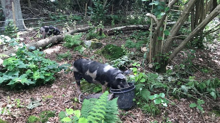Grisarna Albert och Herbert bökar i marken.