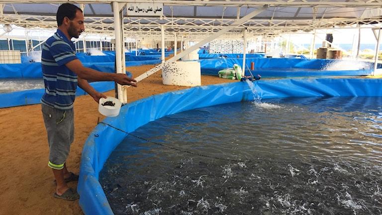 Matningsdags i Nahed Jumas fiskeodling. När elen försvinner måste han använda en generator för att få in syre i bassängerna, annars dör fisken.