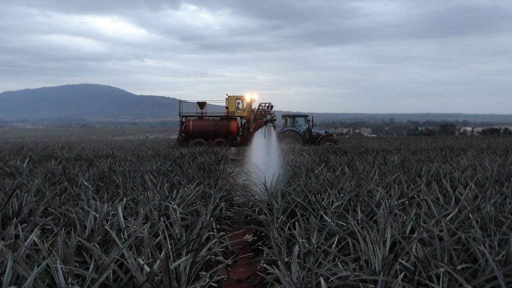 En traktor besprutar en ananasodling i Kenya