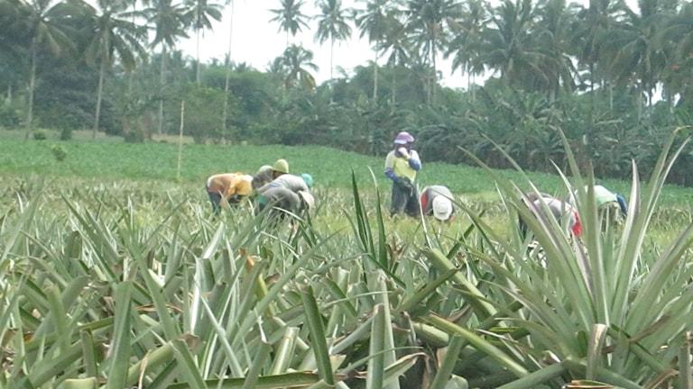 Arbetare befinner sig på en ananasodling i Filippinerna.